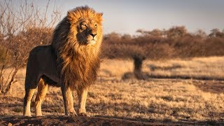 Report: Suspected poacher mauled by lions in South Africa