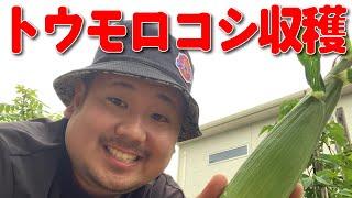 【家庭菜園】#293 トウモロコシ収穫【GENZ】【中川大輔】