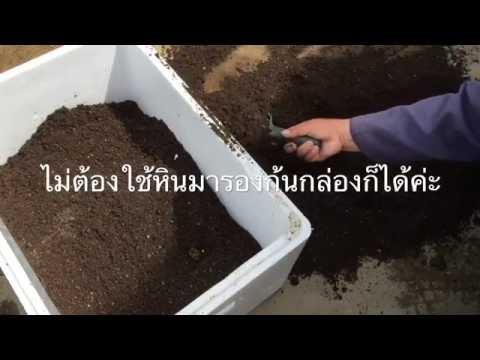 ผักชีไทย : ตอน1 ปลูกผักชีไทยในกล่องโฟม 21.08.2016