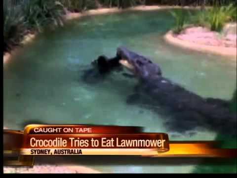 Crocodile Tries To Eat Lawnmower