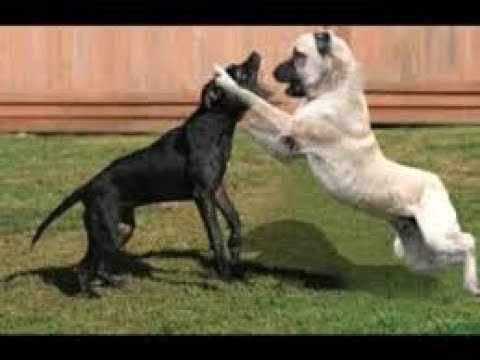 Cane Corso Pitbull Mix Kangal vs Pitbull. Kan...