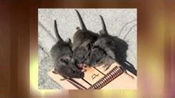Walnut Creek Rat Control - Got Rats Rodent Proofing
