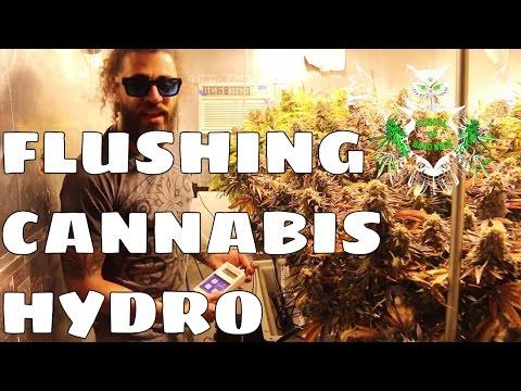 Flushing Hydroponics | Flushing Weed Garden Before Harvesting (Hydro)