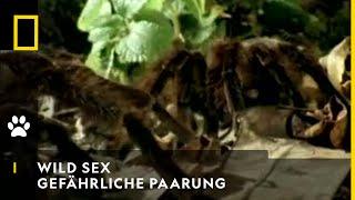 NATIONAL GEOGRAPHIC SENDER Tarantel gefährliche Paarung