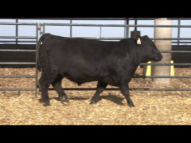 Schiefelbein Angus Farms Lot 21