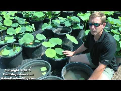 Lotus fertilizing, water garden lotus, Nelumbo, Pond lotus flowers.