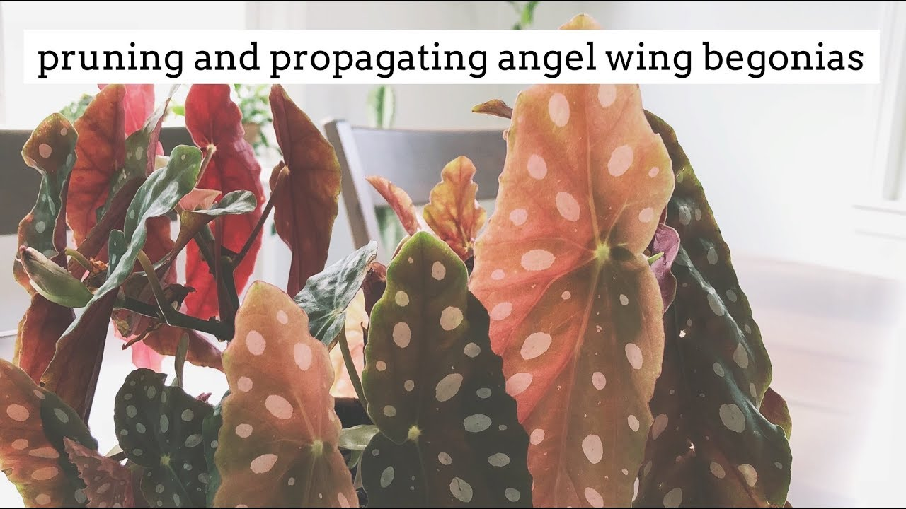 Angel Wing Begonia Care Tips