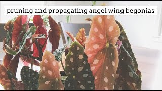 how to prune and propagate angel wing begonias