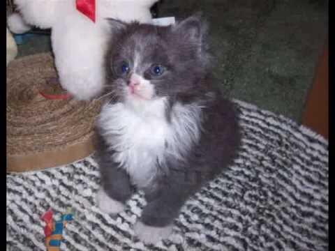 Cymric Kitten 1