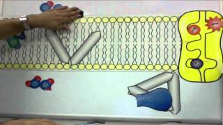Repeat youtube video Cell Membrane Tutorial