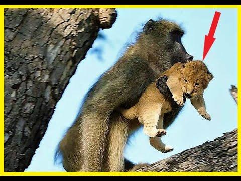 Бабуин стащил львёнка и взобрался на дерево!