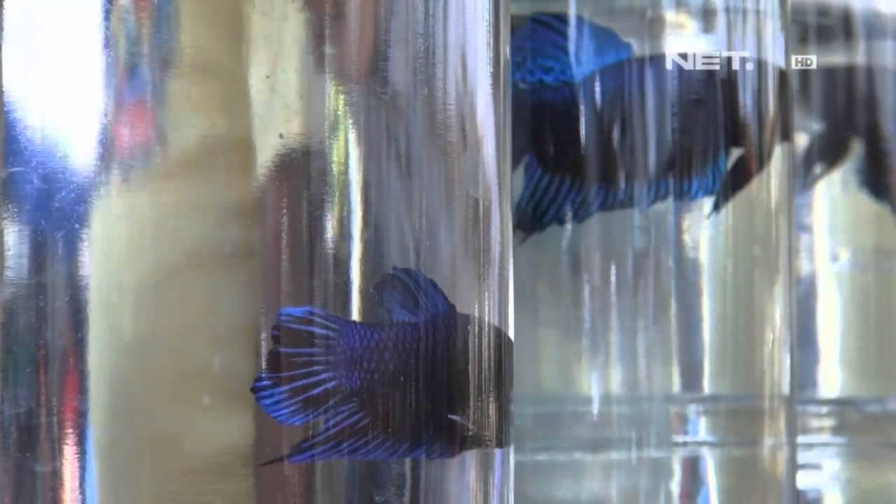 Net24 Pasar Ikan Hias Di Bandung Youtube