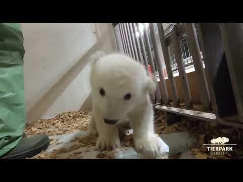 Kleiner Eisbär im Tierpark Berlin ist ein Mädchen - Polar bear cub is a girl