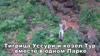 Тигрица Уссури и козёл Тур вместе в одном Парке