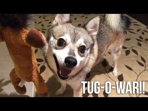 Tug-o'-war with Kobi the Alaskan Klee Kai