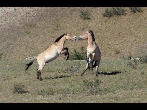 Wildlife of Hustai National Park, Mongolia   2017