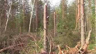 Kesäkuun 4.päivän myrsky riepotteli metsää Lieksassa