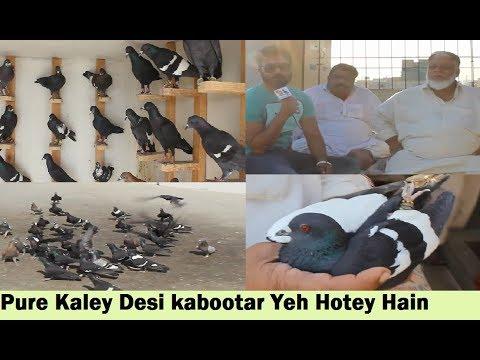 Karachi gagre lal band Pigeon Qureshi group | Doovi