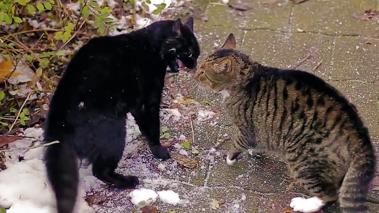 How To Stop House Cats From Fighting