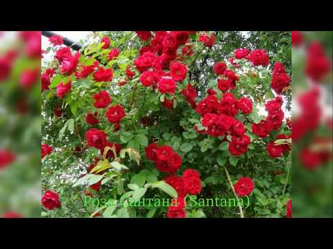 Роза Сантана (rose Santana)