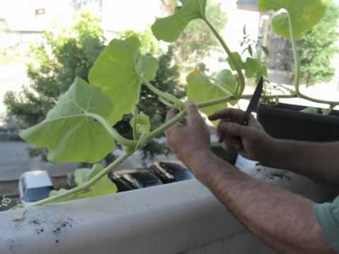 cómo cultivar calabaza en el balcón//balcón comestible