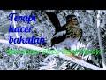 New Terapi Kacer Bakalan Dan Kacer Stres Cepat Bunyi Ngriwik(.mp3 .mp4) Mp3 - Mp4 Download