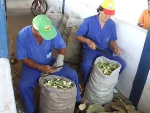 Cactus chopped manually for livestock feeding