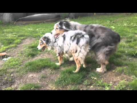 Chopper and Barclay Wrestling in the Backyard!