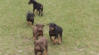 Doberman Pinscher, Puppies, For, Sale, In, Gulfport, Mississippi, Ms, Greenville, Olive Branch, Tupe