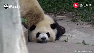 Lazy panda lying down - too cute!