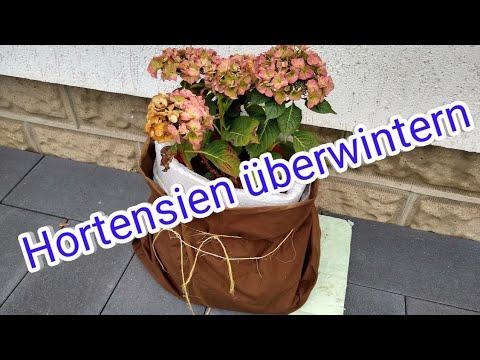 Hortensien überwintern Hortensien überwintern Im Topf Kübel Überwinterung Hortensien
