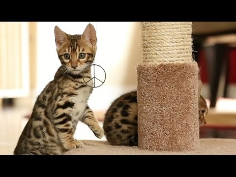 Hippie Kittens - Bengal Kittens for Peace
