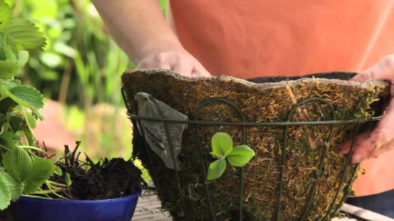 Youtube Hanging Flower Baskets : How to plant bare root strawberries in hanging baskets