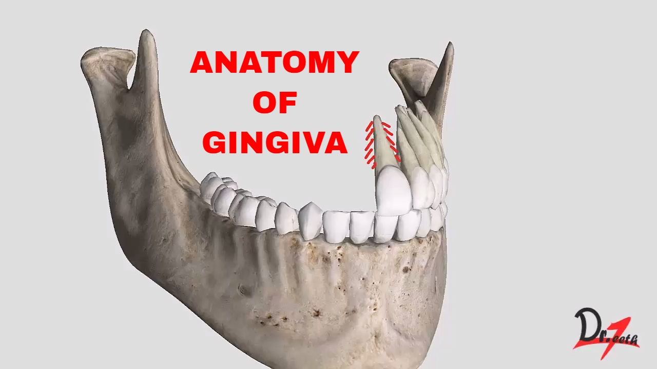 Anatomy Of Gingiva English Youtube