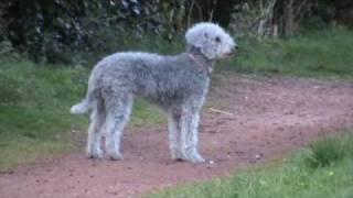 Twinkle The Bedlington Terrier Spots A Squirrel