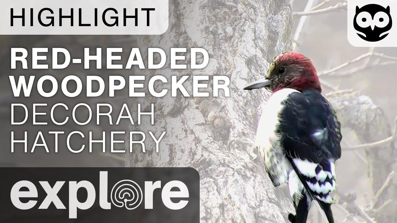 Red-Headed Woodpecker - Decorah Live Cam Highlight 11/07/17
