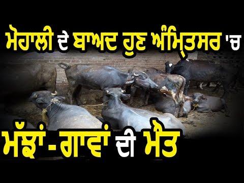 Exclusive: Mohali के बाद अब Amritsar में गाय-भैंसों की मौत