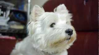 12 Years Old Westie, Dingding