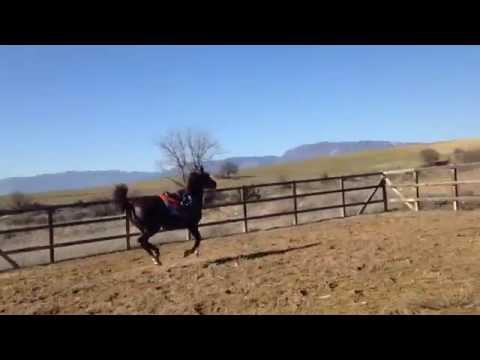 Arabian Horse / Arap Atı