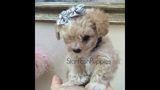 "Teacup Apricot Poodle With Green Eyes "" Oliver"""