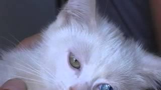 Разноглазый котенок