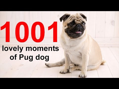 1001 Lovely Moments Of Pug Dog | Funny Dogs Videos