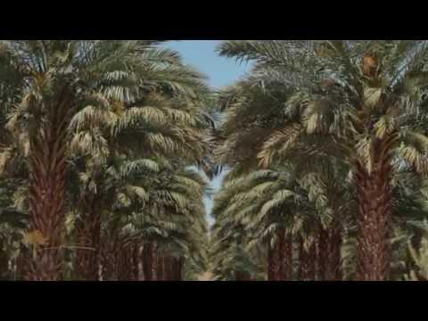 Foss Nursery Medjool Date Palm Grower