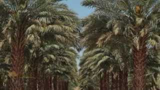 Foss Nursery Medjool Date Palm Grower