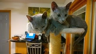 4 Month Old Russian Blue's