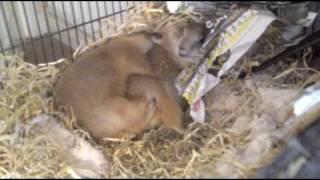Prairie Dog Mating