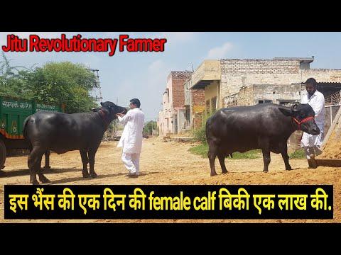 👍Asian Champion -Murrah Buffalo (Milk 27.100 Kg per day)@Village Singhwa Khas👍