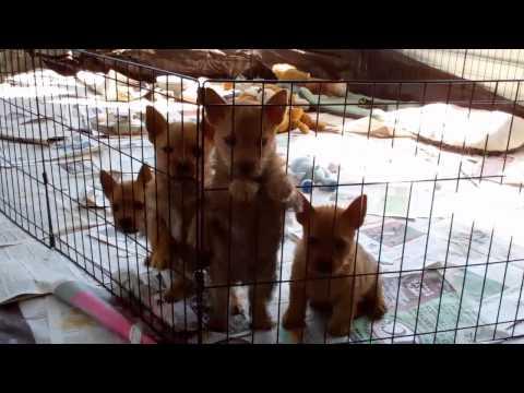 Norwich Terrier puppies 9 weeks old Lola WInston 5 1 11