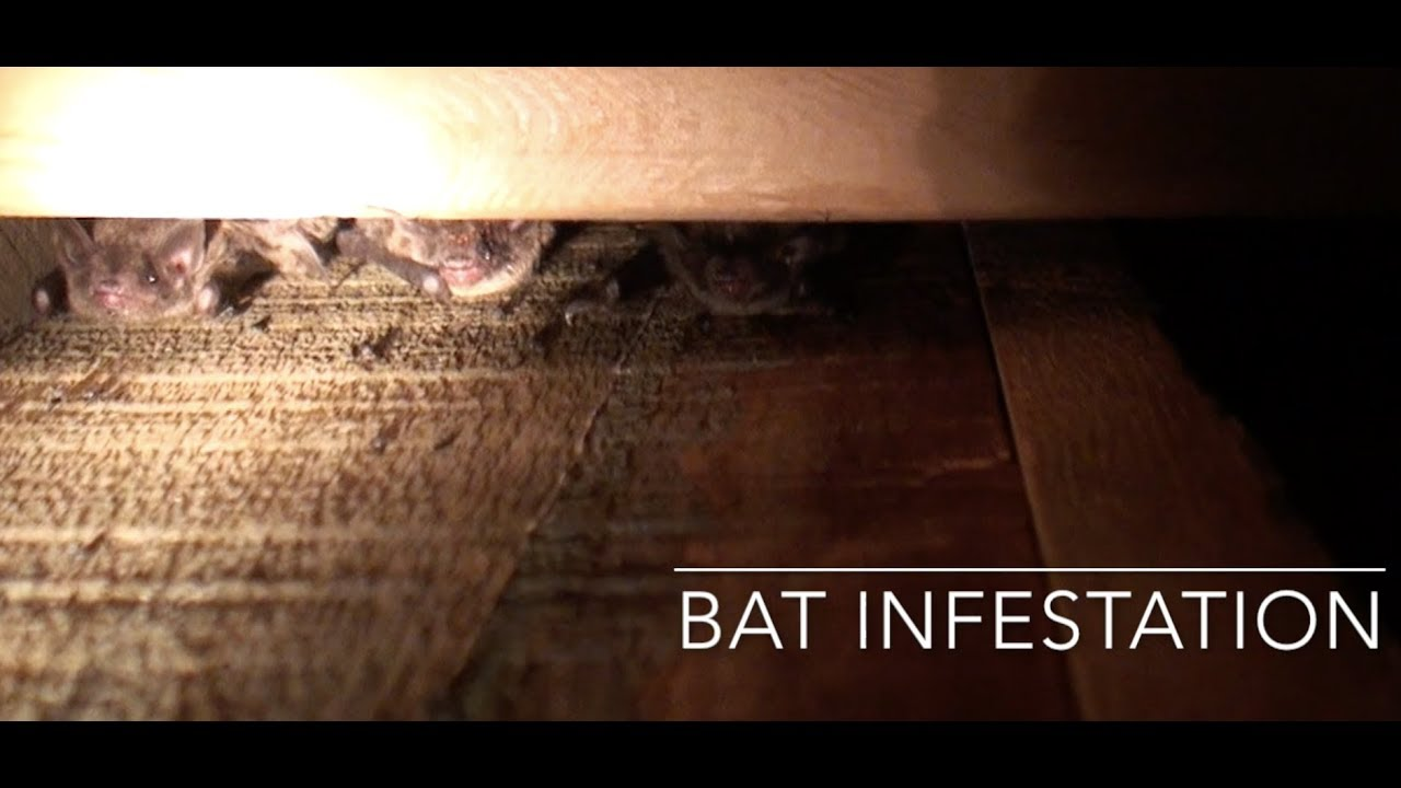 Bat Infestation