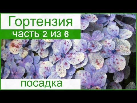 💐 Посадка гортензии в саду, выращивание гортензии из семян